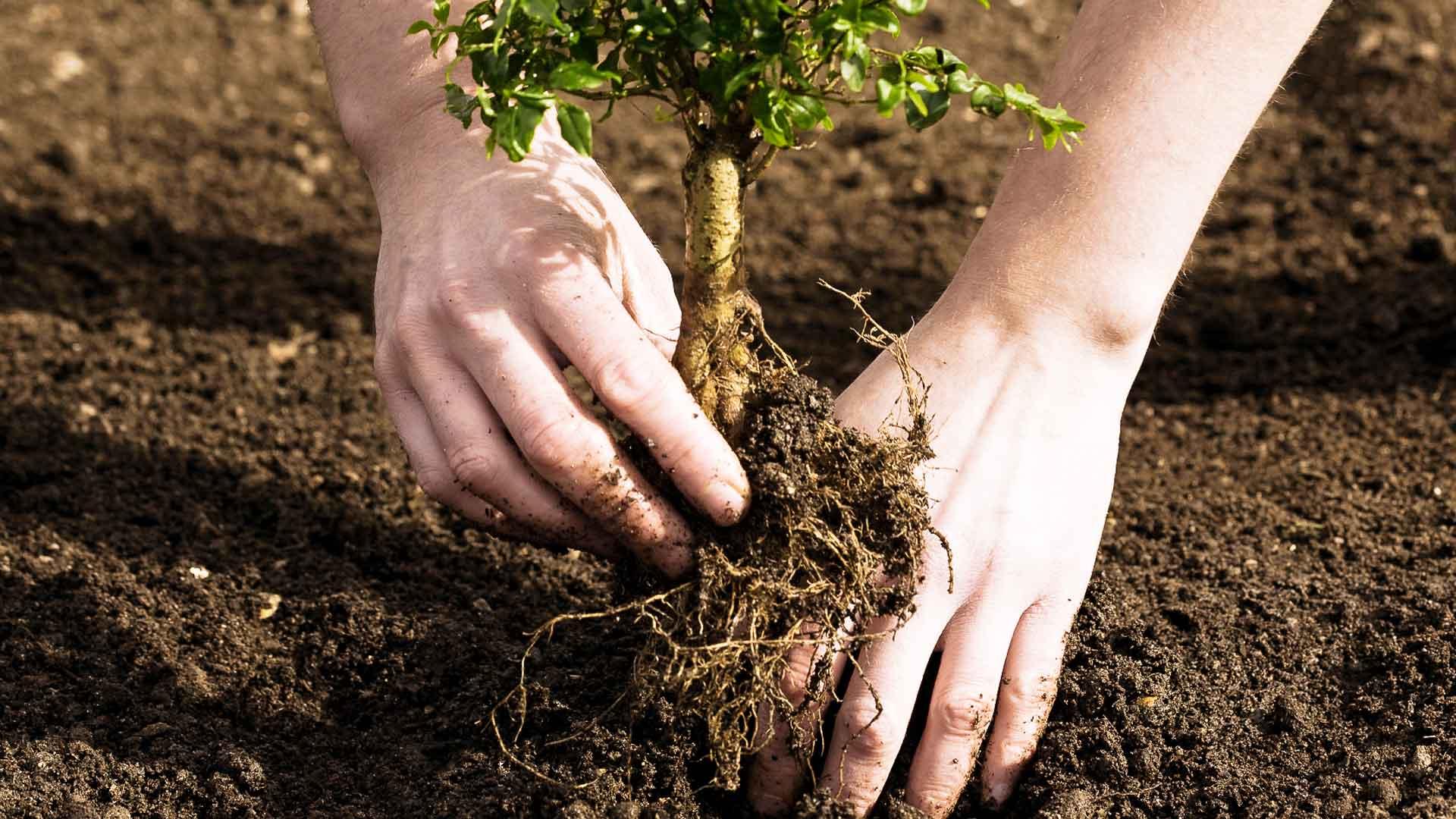 Как правильно пересадить взрослые деревья